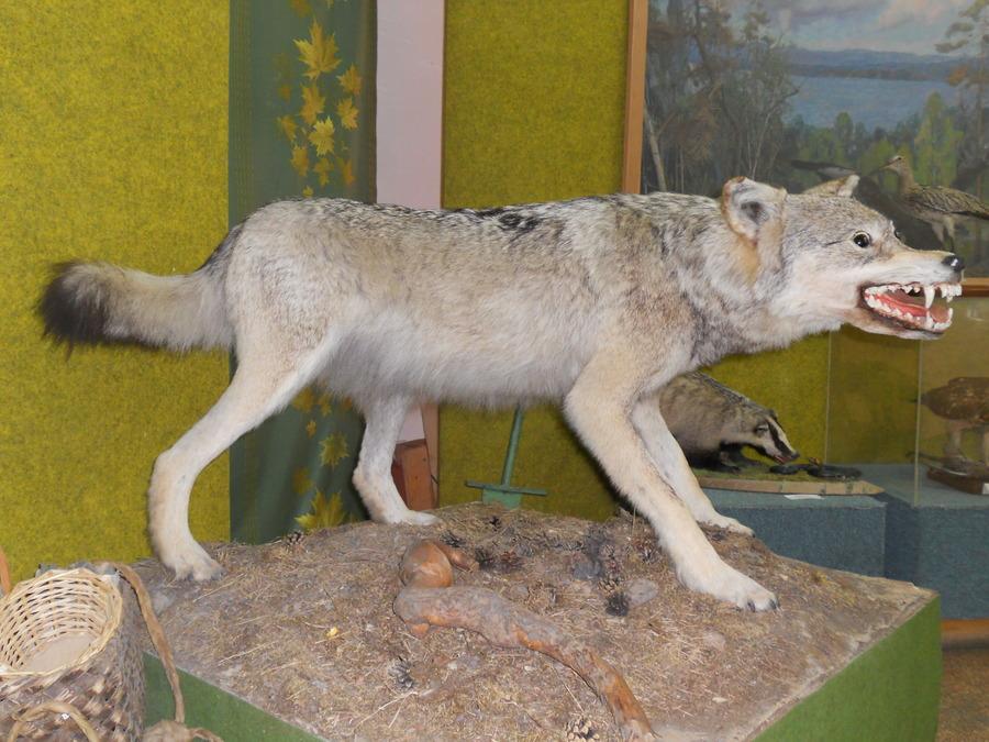Волк (22.12.2016)